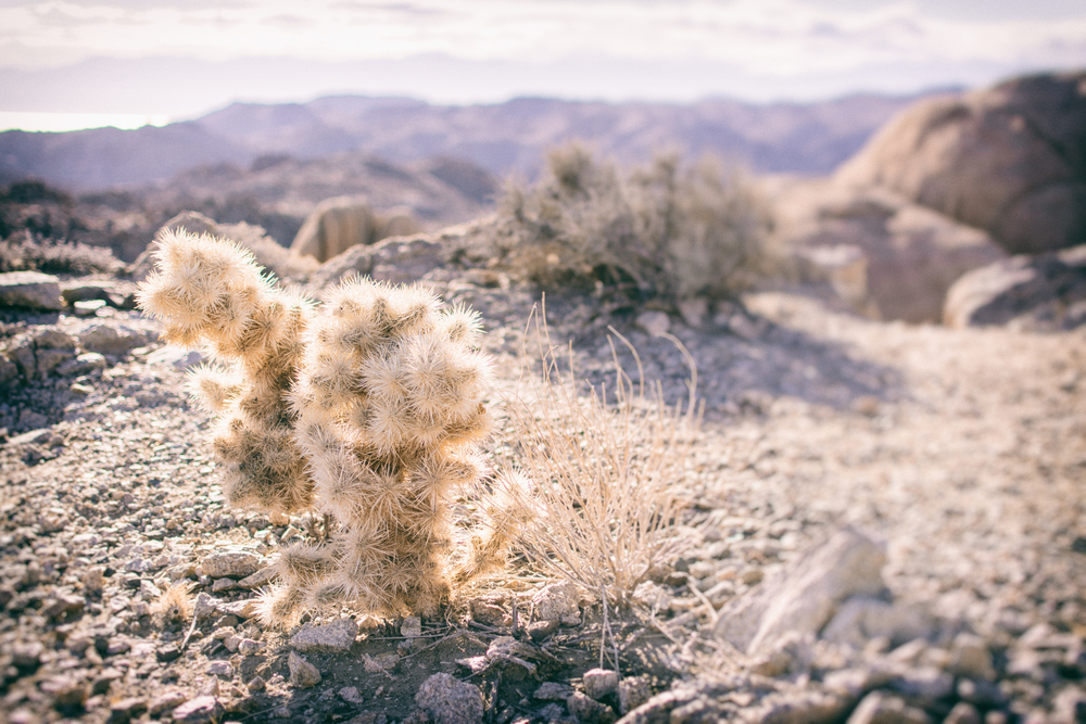 Plants overlooking mountains, Joshua Tree National Park