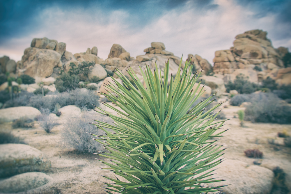 Plant and rock formations, Joshua Tree National Park