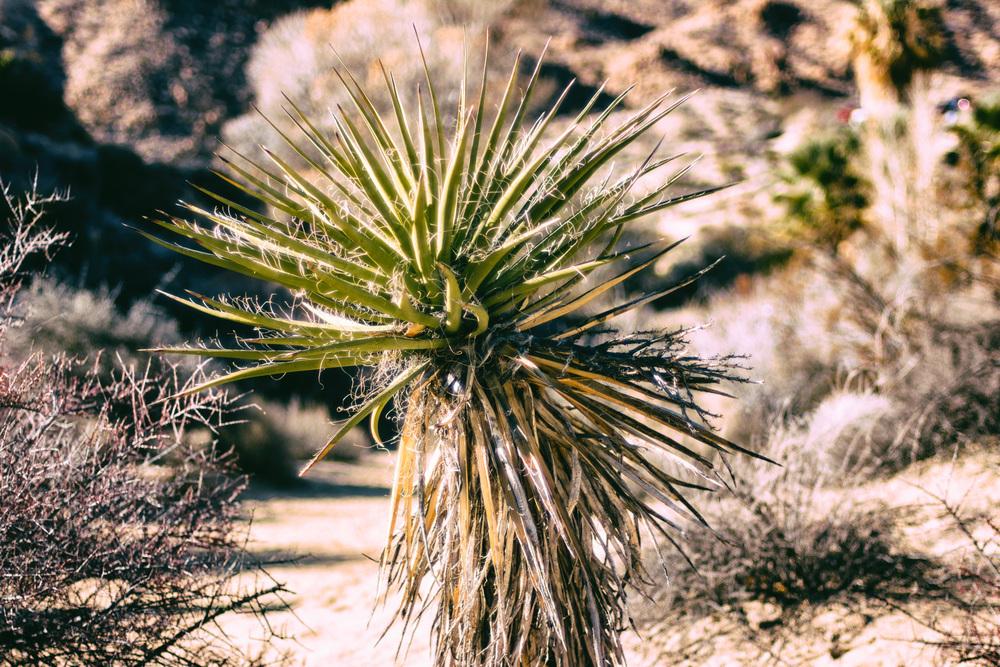 Spiky Desert Plant