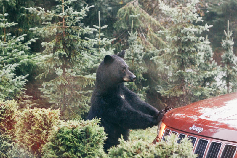 Bear on Car | Mallorie Owens
