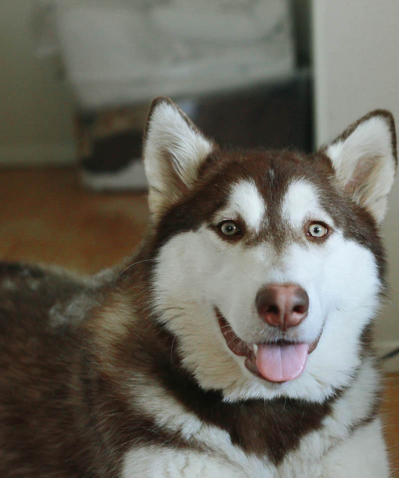Alaskan Malamute Puppy, 9 months old | Mallorie Owens