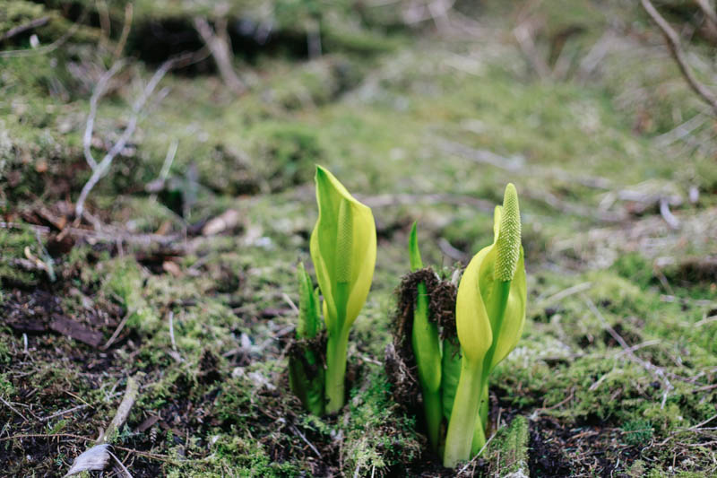 Skunk Cabbage | Mallorie Owens