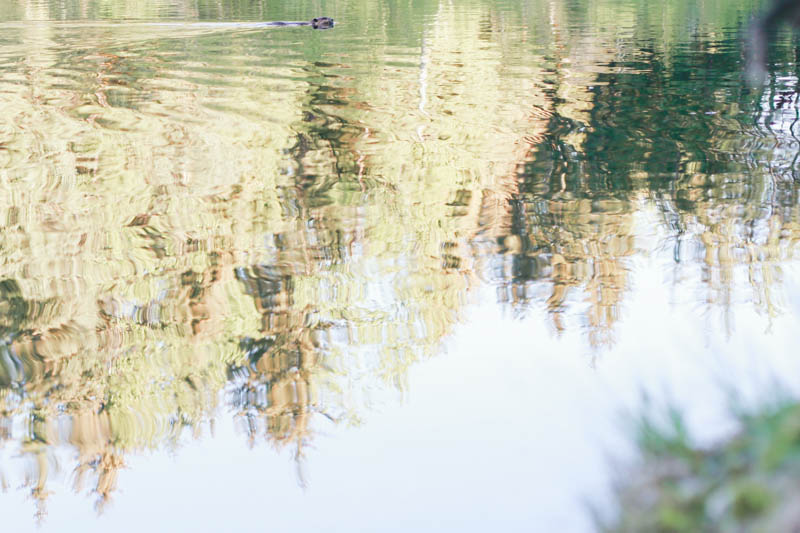 Beaver at Dredge Lake in Juneau, Alaska | MALLORIE OWENS