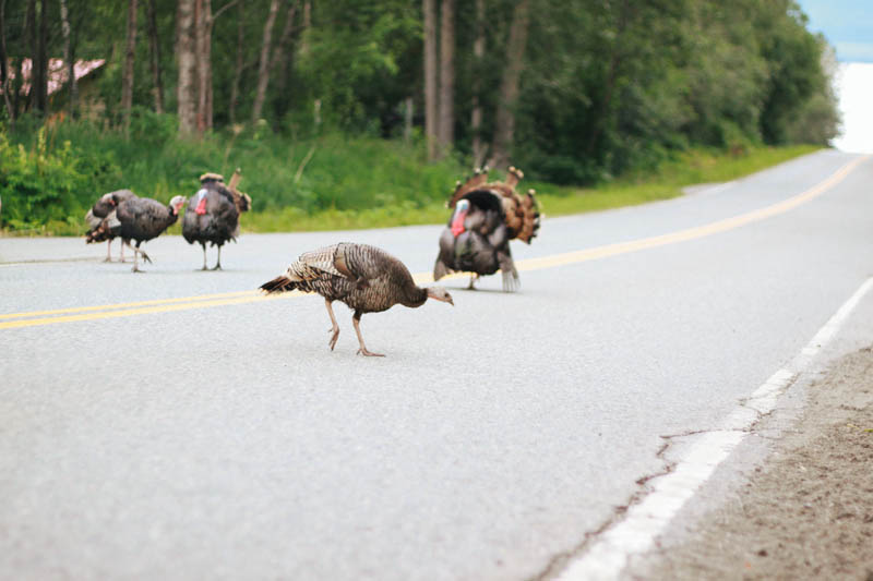 Wild Turkey in Girdwood, Alaska.