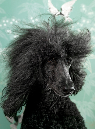 Glamour Dogs Poodle