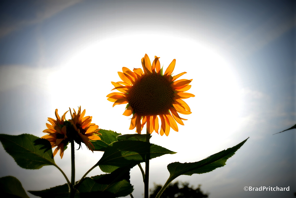 Le Jardin des Plantes -    Sun engulfs the sunflower