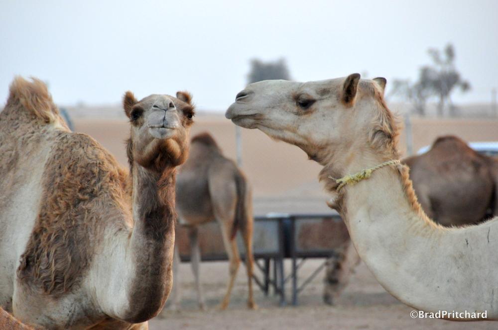 Camels feeding at dusk in the Dubai desert.