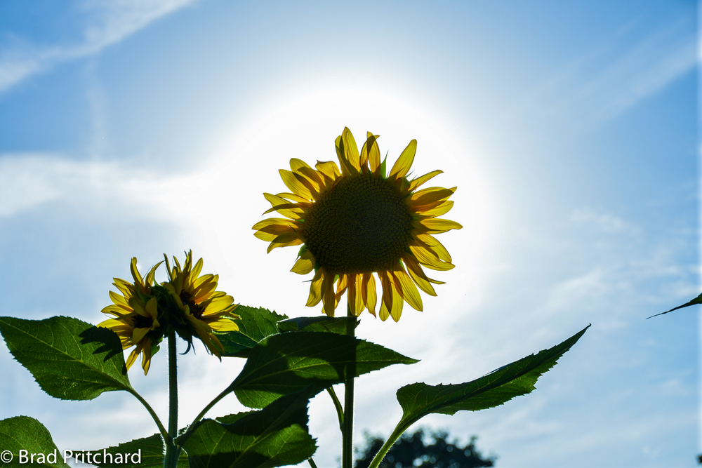 Sun and the Sunflower, Jardin des Plantes, Paris, France, August 2013