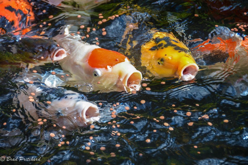Portland Koi I, Portland, Oregon, August 2014