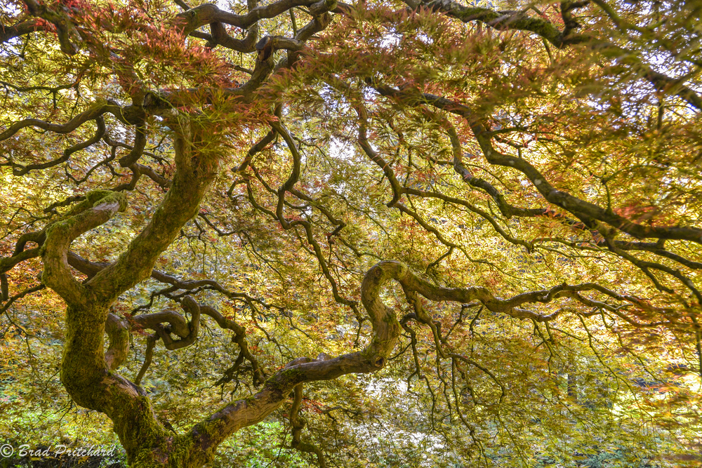 Looking into the Japanese Maple, Japanese Gardens, Portland, Oregon, August 2014