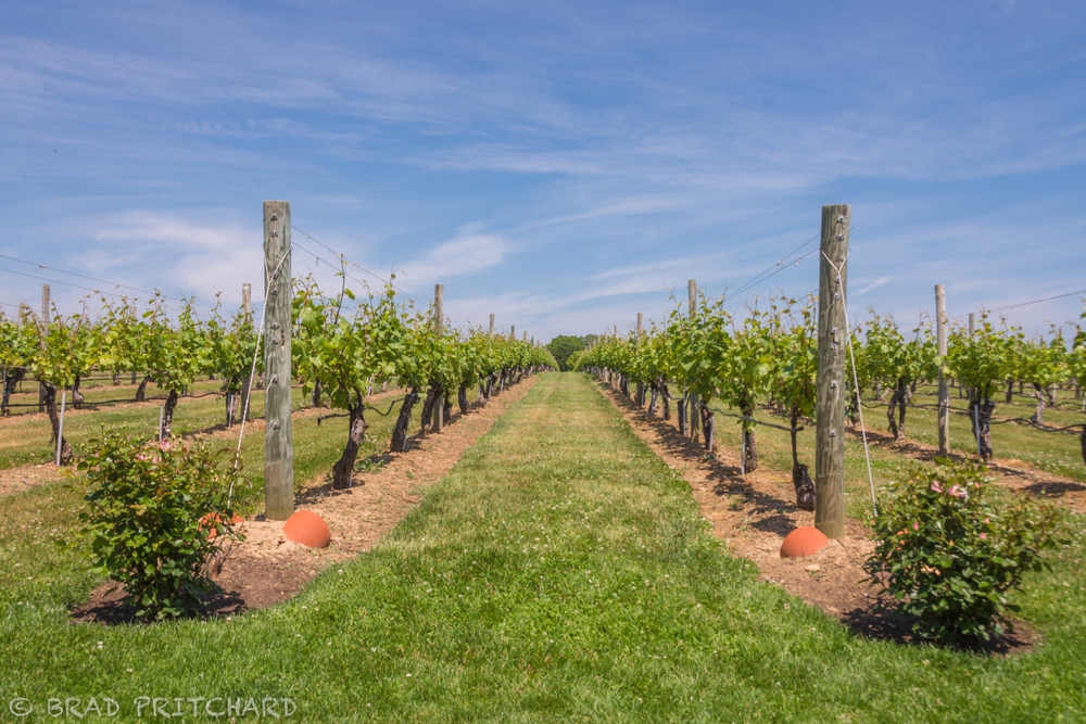 Vineyard at Wölffer Estate (June 2015), just as stunning as what you will find in Napa.