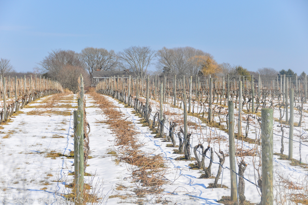 Snow covered vineyard(March 2009).