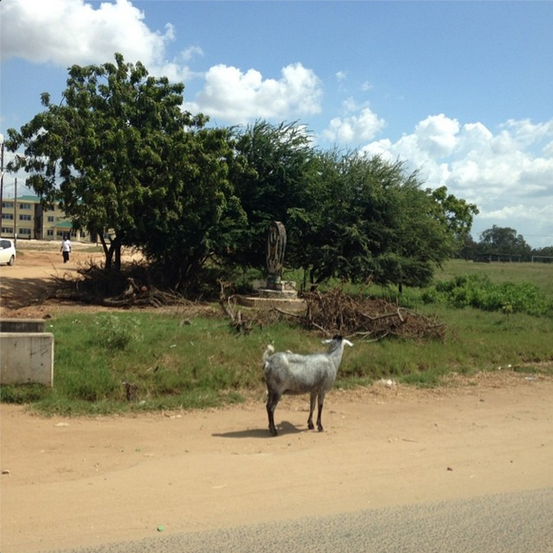 This is a goat in the middle of the road. This was a normal obstacle on my drive to work every day. In Bahari beach there are farmers with grazing goats and cows so you would have to drive around them every day.