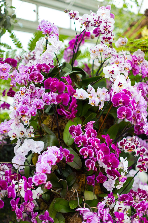 Orchid New York Botanical Garden Spring_-5.jpg