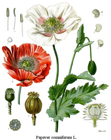 Poppy_opiumGardenWhite_Capture.jpg