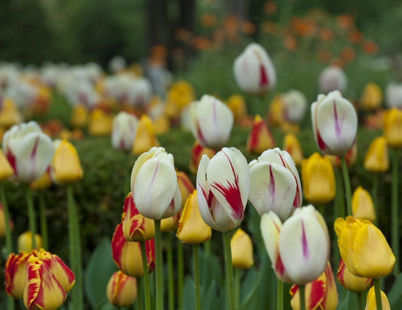 tulips white yelsm.jpg