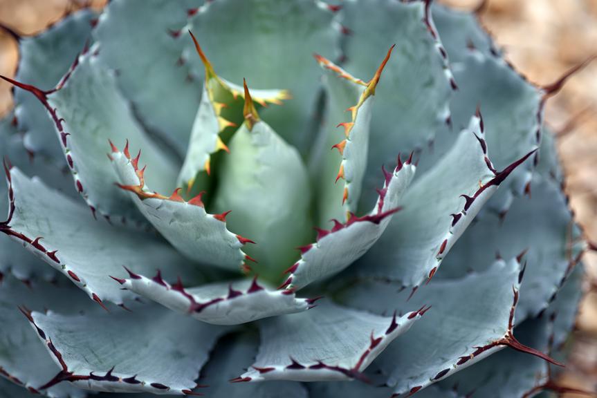 claw cactus_sm.jpg