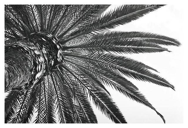 Palm tree in CT #analogphotography #analog #blackandwhitephoto #textures #rga_minimal #canon #ae1 #200iso