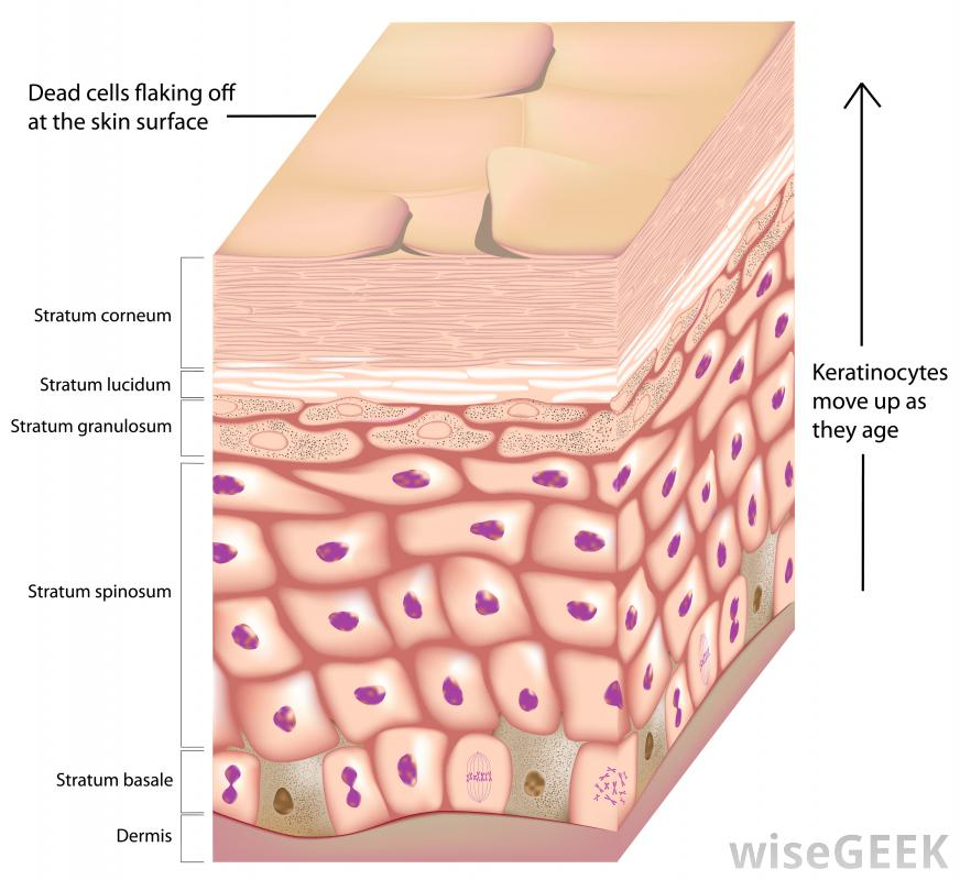 El  estrato córneo es la capa más externa de la epidermis , compuesta de corneocitos, queritanocitos, corneosomas, enzimas, lipidos y NMF. Es conocida como capa córnea, capa de queratina,