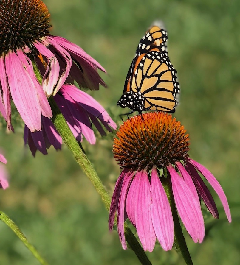 Look who else was attracted to this coneflower in my garden. The beauty and colors of nature often stop me in my tracks.