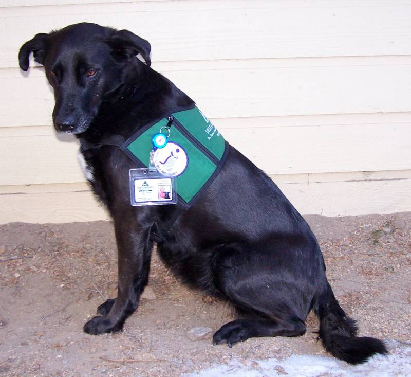Jassy - in uniform as an animal assisted therapy dog.jpg