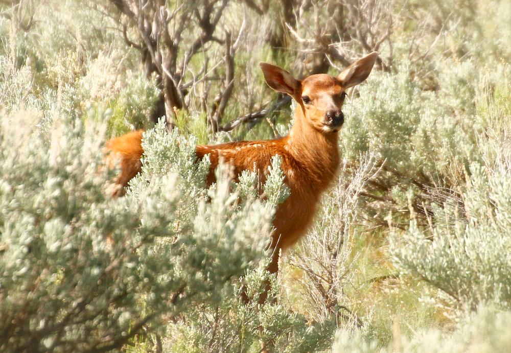 Elk-Calk.jpg