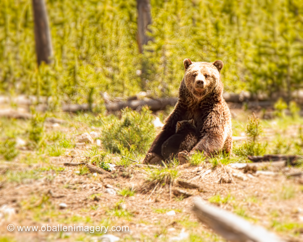 Grizzly and Cub image taken near Norris geyser basin. This Grizzly had three cubs this spring but lost two. She has this healthy cub left. They were a joy to watch.