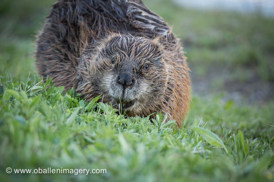 This Beaver was a real treat to see.
