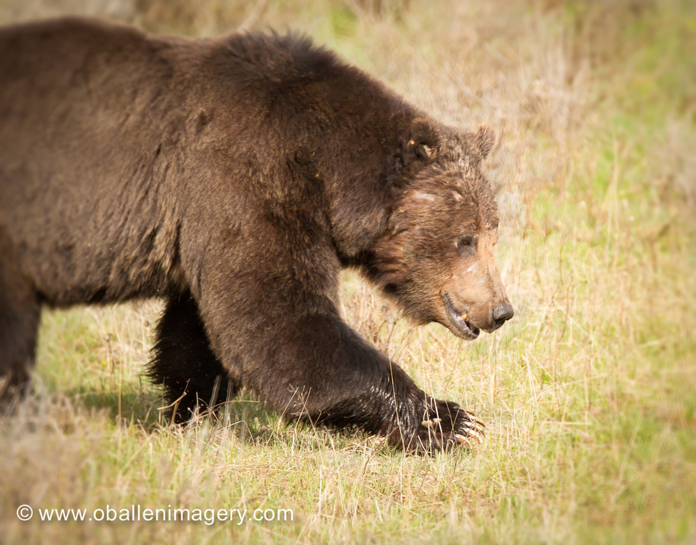 This large male grizzly was first spotted on the western edge of Hayden Valley and within a very short time managed to cross the road within 30 feet of our truck. It is always nice to have bear spray with you.