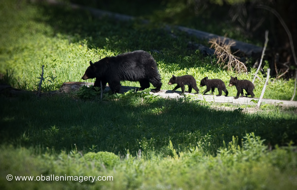 This mom and three cubs were the main attraction near Calcite Springs. They have since been moved to the Petrified Tree area.