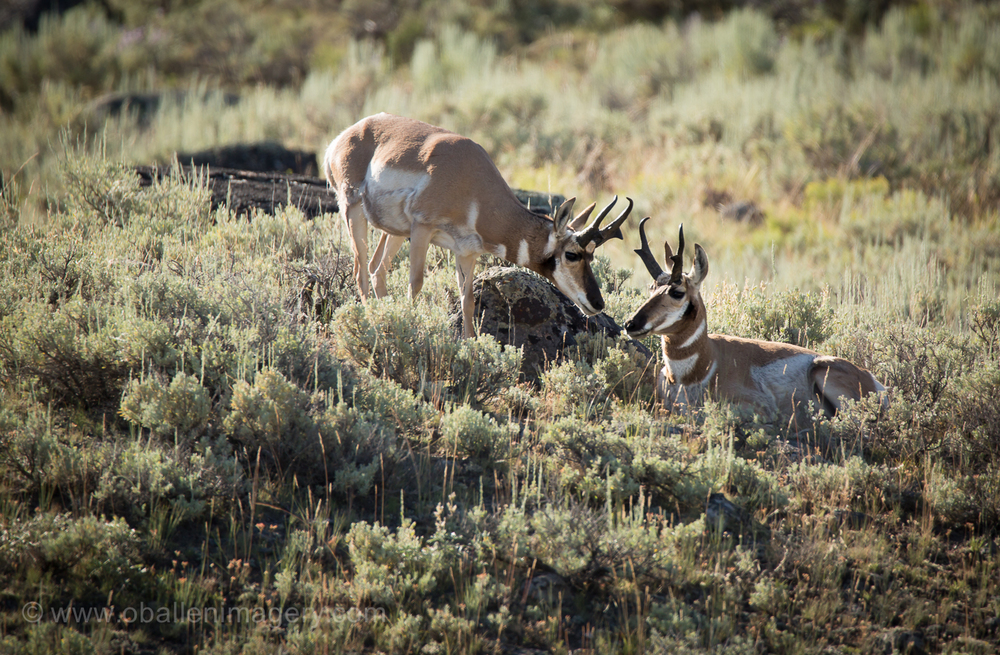 These antelope were found in the amazing Lamar Valley.