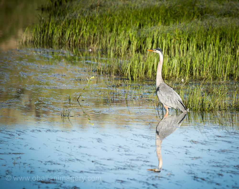 Crane on Alum Creek.