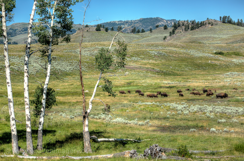 The beautiful Lamar Valley is home to many species including many herds of bison.