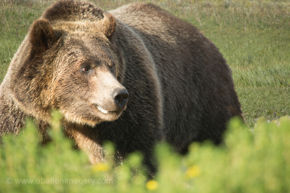 It is amazing to view the grizzly in the open.