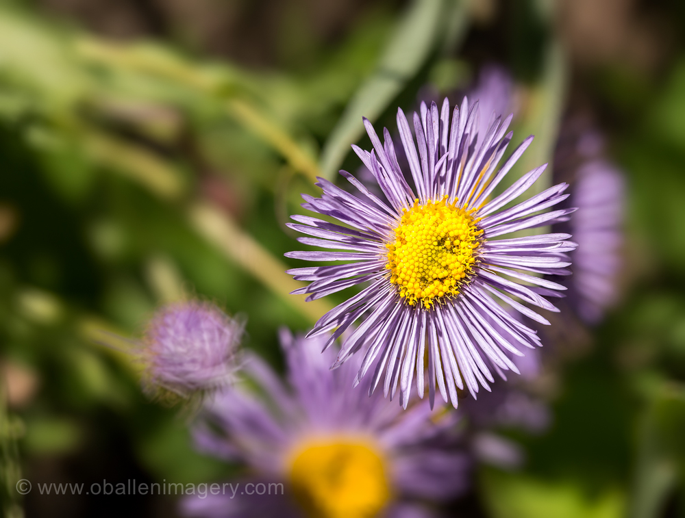 This very delicate flower nearly was missed but those tiny purple petals just lured me to take their picture.