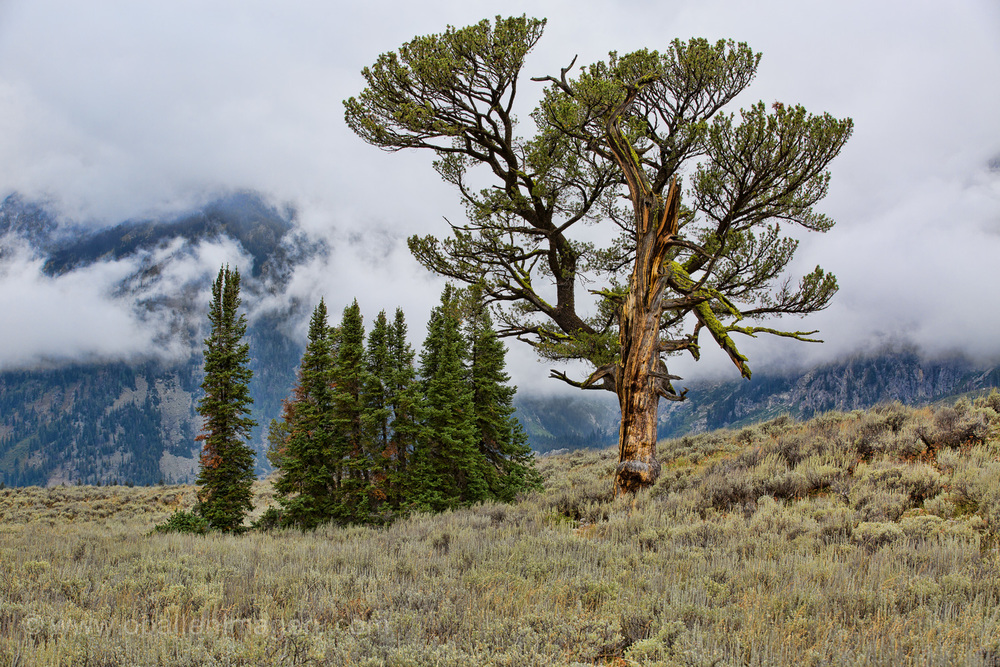 The Old Patriarch Tree is an icon in GTNP. The clouds kind of parted and I was able to sneak this photo.
