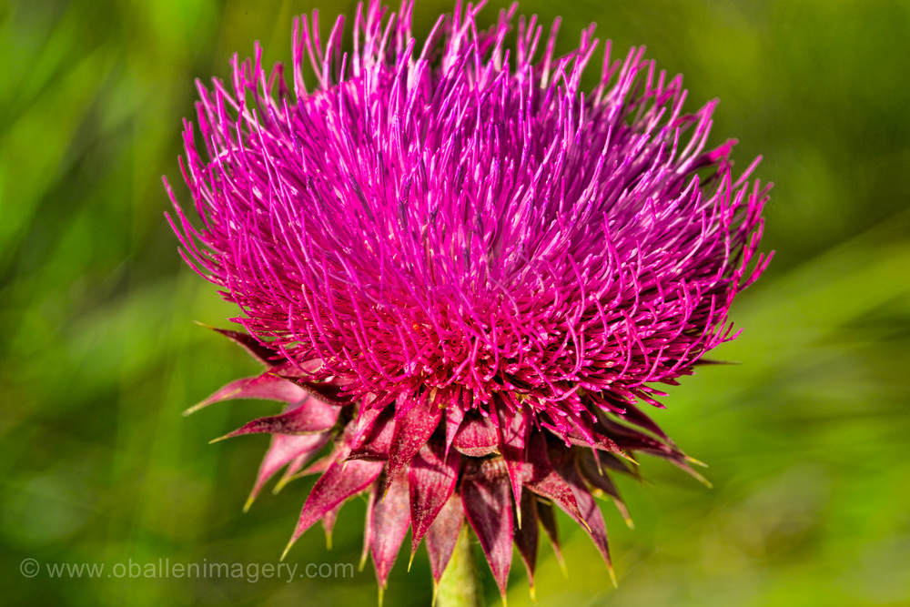 When there is constant rain I looked for something to photograph. Look at this beautiful thistle.