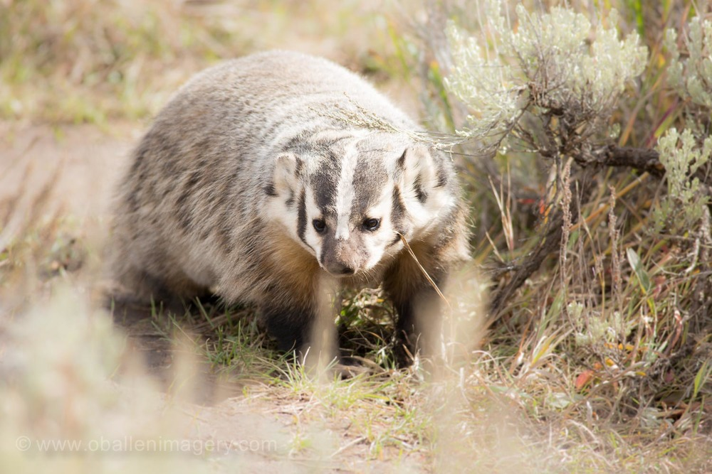 This badger has made its home around the barn. It was quite a surprise to spot him wandering around.