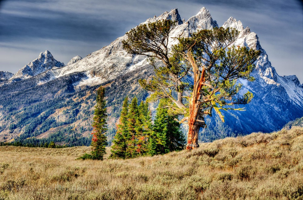The tree stands very majestic against the powerful Tetons.