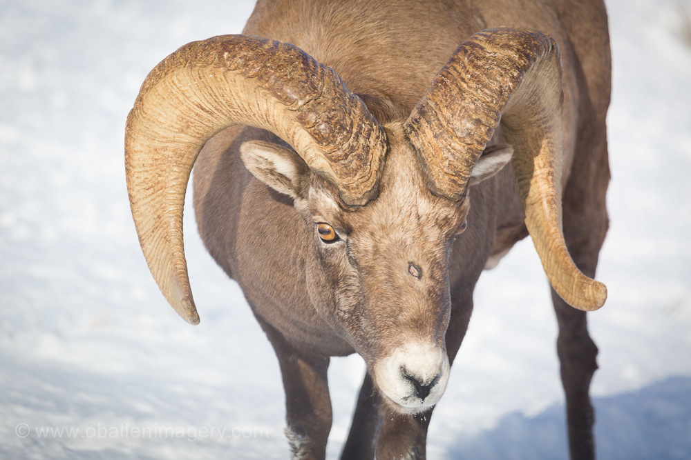 This was one of the first rams I found.