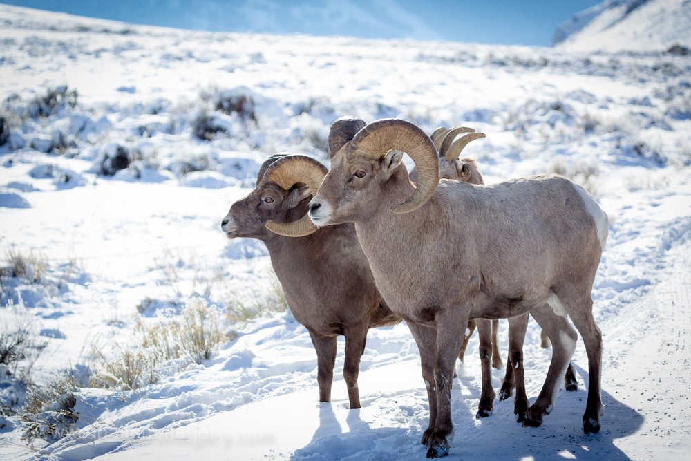 These two rams kept things lively.