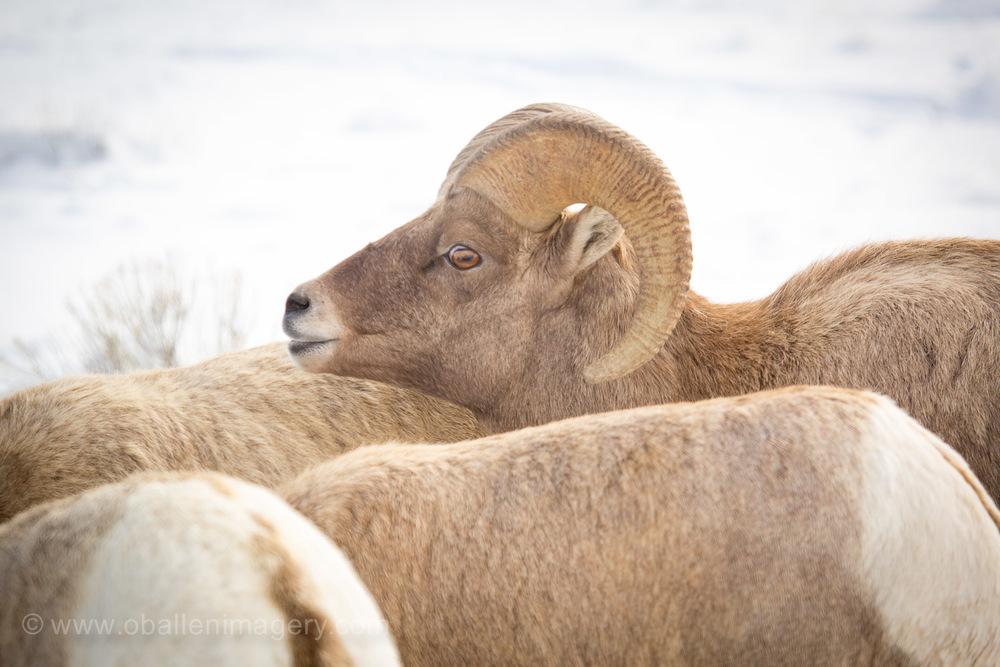 Ram 13