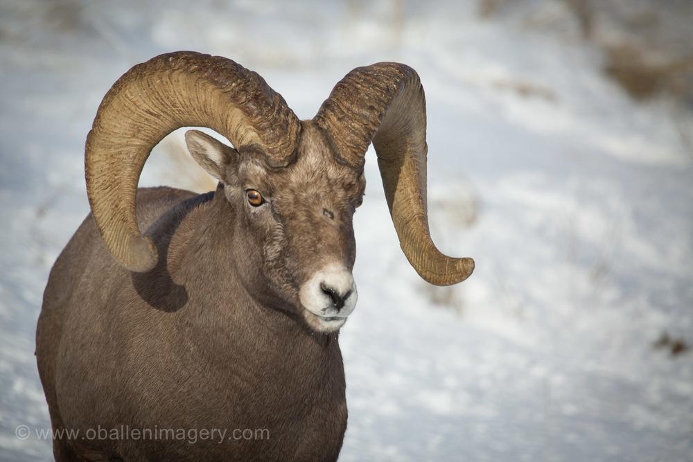 Ram 12
