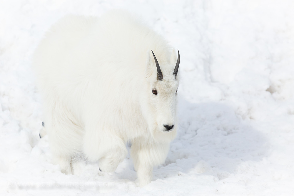 These beautiful animals move gracefully even through the deep snow.