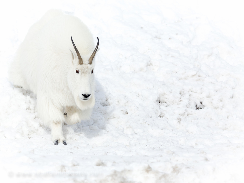 The shape of the horns and face help determine the distinguishing characteristics.