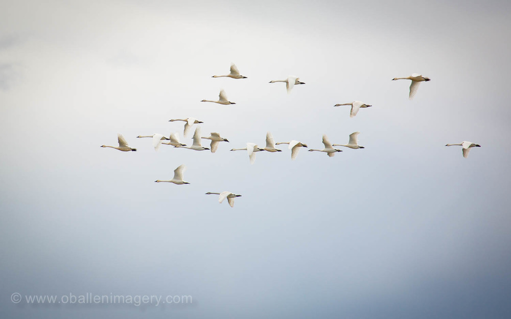 This large group seem very graceful but always loud as they cruise by.