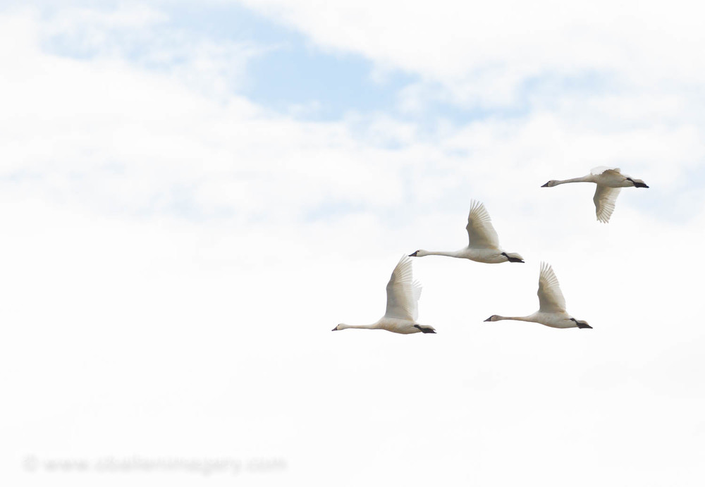 Swansdon't like to travel without the company of anotherand can form flocks of several to hundreds.
