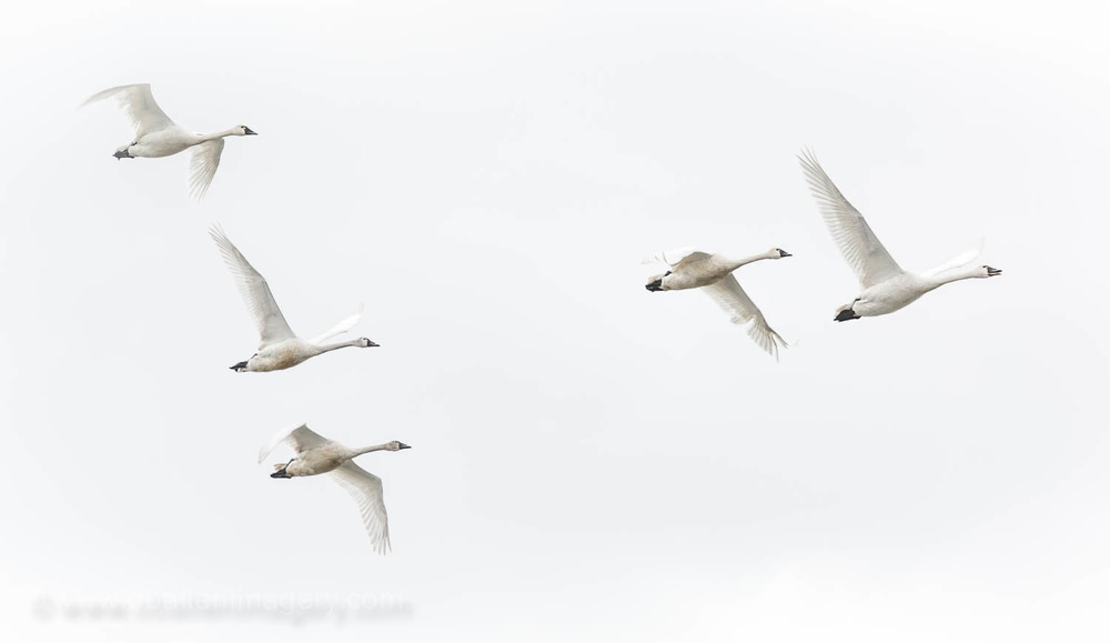 In flight, they are steady on the wing with even wingbeats.