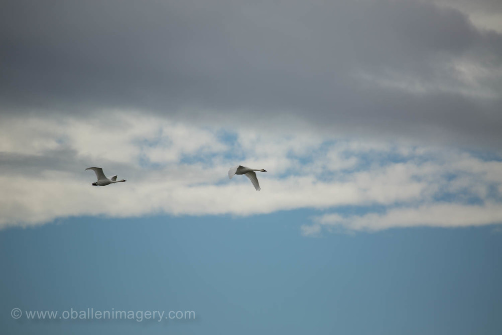Swans are either wholly or partly migratory. The tundra swan is entirely migratory.