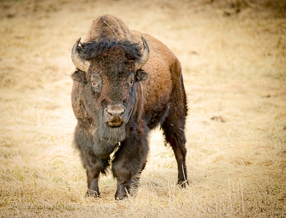 Some of the bison did not look the best but this bull was in top form.